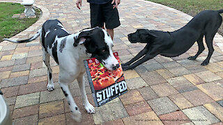Great Danes try their hand at delivering pizzas