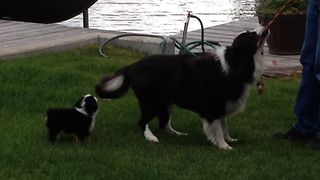 Cute Collie Pup Can't Keep Up - Video