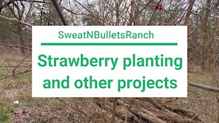 Planting strawberries and other spring projects