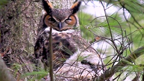 Sleepy mother owl cuddles with her chick in the nest