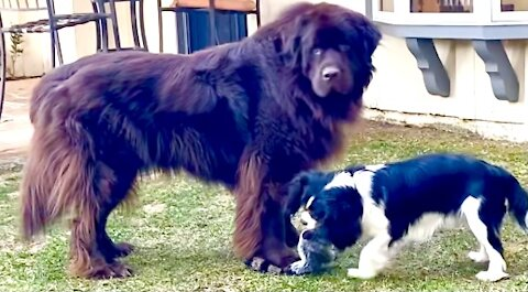 Huge Newfie uses clever technique to guard toy