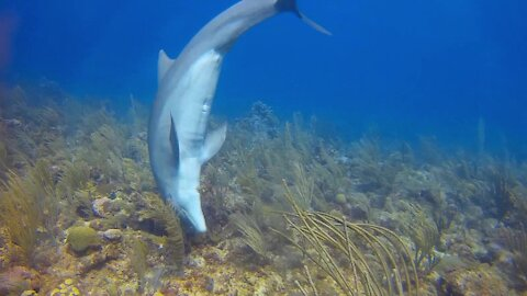 Playful dolphin has a beautiful interaction with this scuba diver
