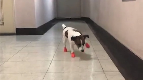 Jack Russell Terrier walks awkwardly with new shoes