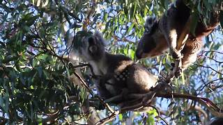 Not so cuddly now: koalas in ugly fight for territory - Video