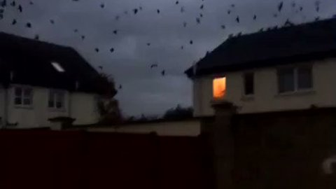 Hitchcock-Worthy Flock Of Birds Seen As Ophelia Approaches Cork