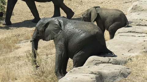 Two elephants casually sit down on a rock to enjoy a quick butt scratch