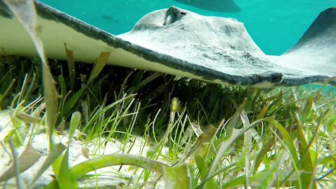 Swimmers have an extreme close up look at stingrays in Belize
