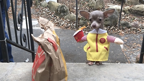 Chihuahua Dressed In McDonald's Outfit Delivers Fast Food To Owner