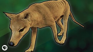 How Evolution Turned A Possum Into A Wolf - Video