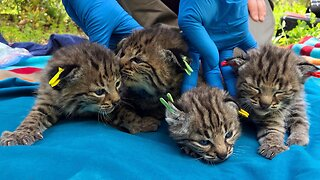 Bobcat Survived California Wildfire And Birthed Four Kittens