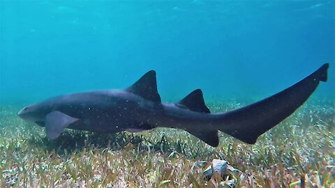 Curious sharks and stingrays surround swimmers in Belize