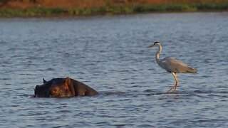 Surfs Up: Crafty Heron Hitches Ride On Back Of Hippo For Spot Of Fishing