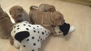 Shar Pei puppies love their new Dalmatian toy - Video