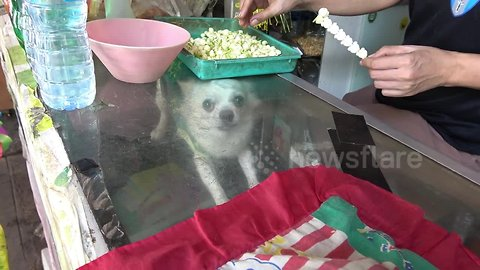 Not for sale: Shy Chihuahua hides inside glass counter at kiosk