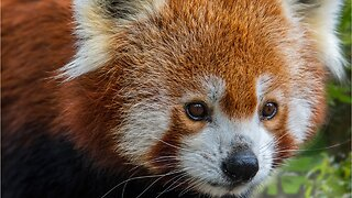 Red Pandas Might Be Two Species