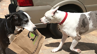 Funny Great Dane Helps Herself To Burger Fi Take Out  - Video