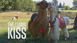 Animal Therapy: Get Some Llama Love