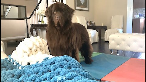 "Watch this huge Newfie's irresistible ""beg face"""