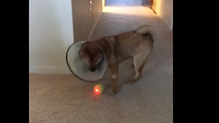 Dog Wears 'Cone Of Shame', Still Won't Give Up On His Toy