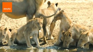 Fun Facts About the Fascinating Lion - Animal Kingdom's Royalty - Video