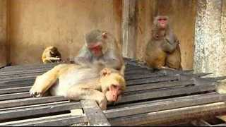 Tourists Visit Monkey Temple in Jaipur - Video