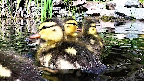 Rescued baby ducklings splash with joy when let free on a pond