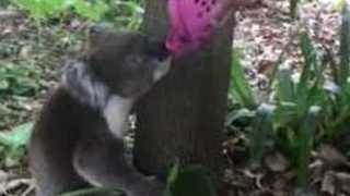 Concerned Onlookers Quench Koala's Thirst With Pink Crocs - Video