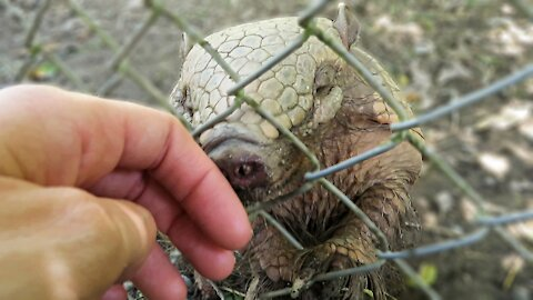 Adorable rescued Armadillo wants to check out caretaker