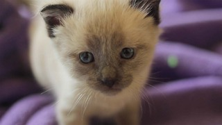 Siamese kittens get 3-week-old sister! - Video