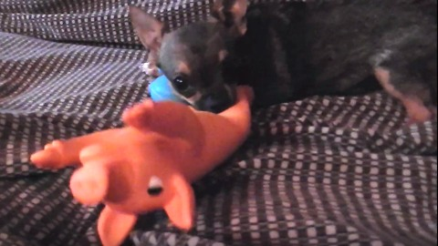 chihuahua dog puppie playing with pig toy