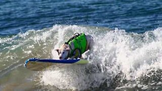 Surfing dog makes skillful recovery to avoid wipe out