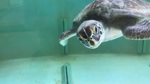 Injured turtles continue to receive care at Gumbo Limbo Nature Center in Boca Raton