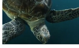 Rescued Green Sea Turtles Released Back to Sea - Video