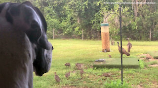 Great Dane Watches Wild Turkey Family Eat At The Bird Feeder