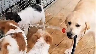 Labrador Retriever holds water hose for Jack Russell puppies