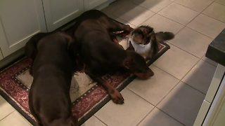 Fearless cat cuddles with pair of Dobermans
