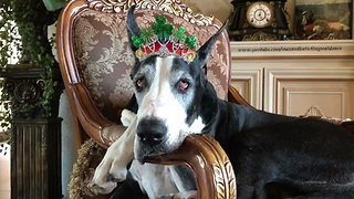 Regal Great Dane Relaxes with her St Patty's Day Tiara  - Video
