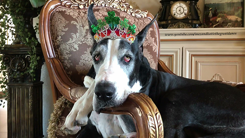 Regal Great Dane Relaxes with her St Patty's Day Tiara