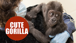 Baby gorilla who was orphaned is matched with loving new mom