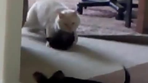 Friendly cat plays with chihuahua puppies