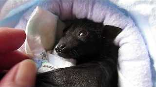 Orphan Baby Bat Nursed Back to Health in Rescue Center - Video