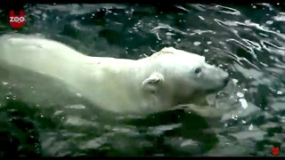Polar Bears In Prague - Video