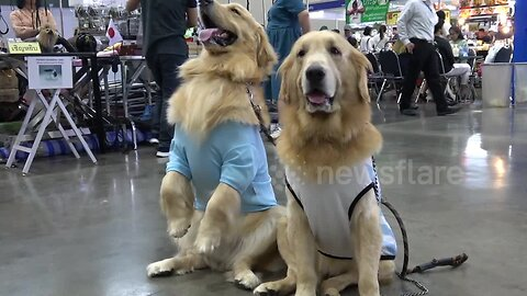 Photogenic pooches line up for Thailand International Dog Show