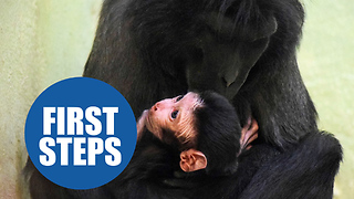 A baby monkey took its first ever step