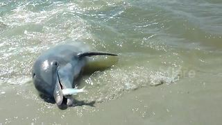 US man films dolphins beaching themselves to feast on fish