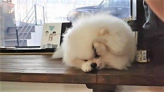 Pomeranian washes his face just like a cat