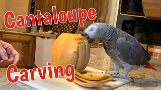 Parrot interrupts cantaloupe carving to enjoy a treat