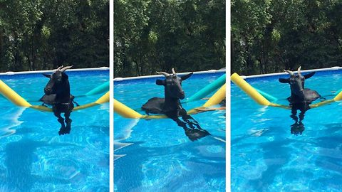 Whatever floats your goat: Unorthodox rescue goat spends summer keeping cool floating in pool