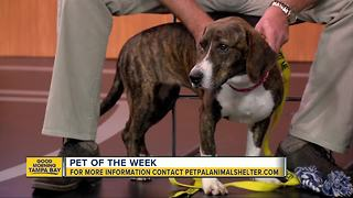 Pet of the week: Bianca is a 1-year-old Basset hound mix who loves to receive belly rubs