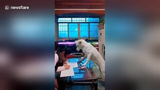 Well-Trained Dog Helps Dad Supervise His Daughter Doing Homework - Video